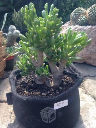 Planta crassula ovata hobbit